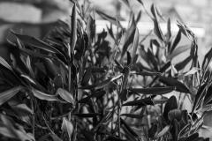 olivbuskeiväxthus